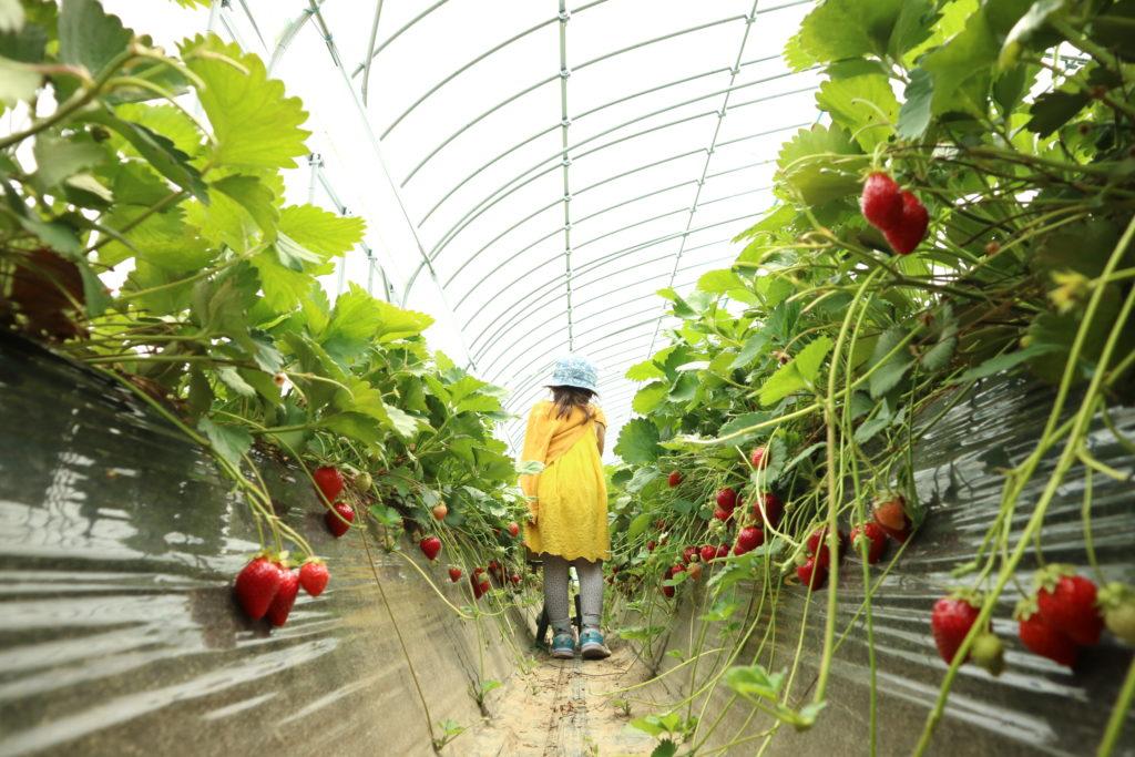 免疫力アップのためにオーガニック農園でイチゴ狩りをしてみては、いかがですか。