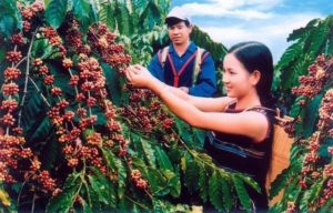 CAFEKO(カフェコ)で使用されているコーヒー豆はベトナム中部の高原地帯で栽培、厳選されたコーヒー豆です。
