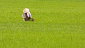 CAFEKO(カフェコ)は、お米でなく現地で一から栽培にこだわって育てられたインディカ米を使用しています。