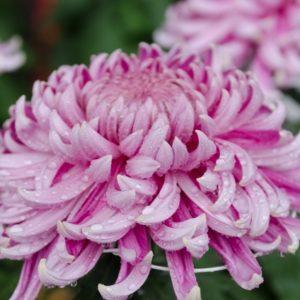 重陽の節句=菊の節句をご存知ですか?菊の健康活用方法