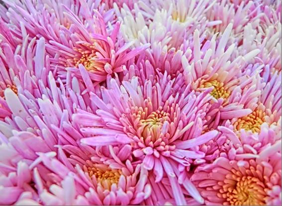 キクイモの旬も11月から翌年2月頃までのため、9月9日は菊の旬には早いのですが、日常の食事に取り入れて欲しい食材のひとつです。
