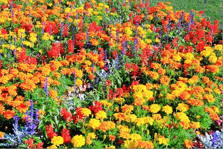 エディブルフラワーはご存知ですか?食用の花のことです。栄養価や彩が注目されていますが、菊は昔から日本人に身近なエディブルフラワーと言えるかもしれません。